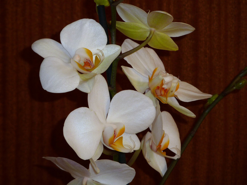 The orchid we gave my sister and her husband for their wedding anniversary