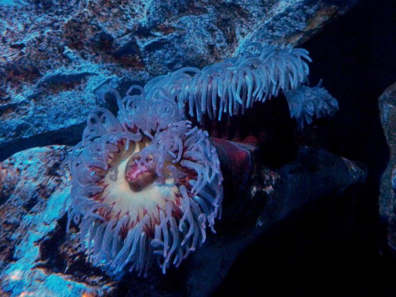 "Metre wide anemones in ""The Twilight Zone"" in ""The Deep"""