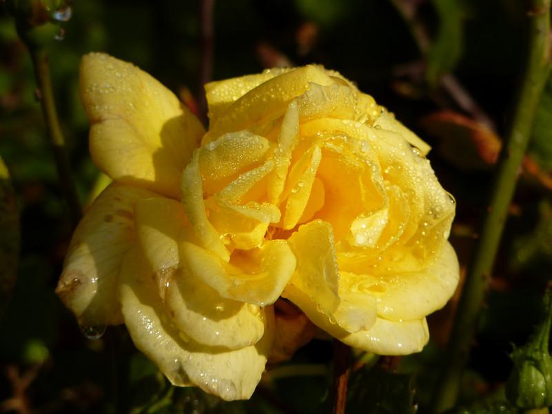 The Rose at Dawn
