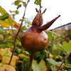 A ripening Rose-hip in the garden