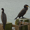 Two cormorants in Scarborough Harbour