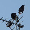 starlings on next doors TV Aerial 12 optical, 3 X Digital zoom