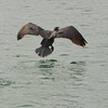 A cormorant takes off in Scarborough Harbour