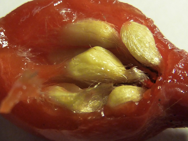 Interior of a Rose Hip