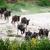 Migration #7, Masai Mara