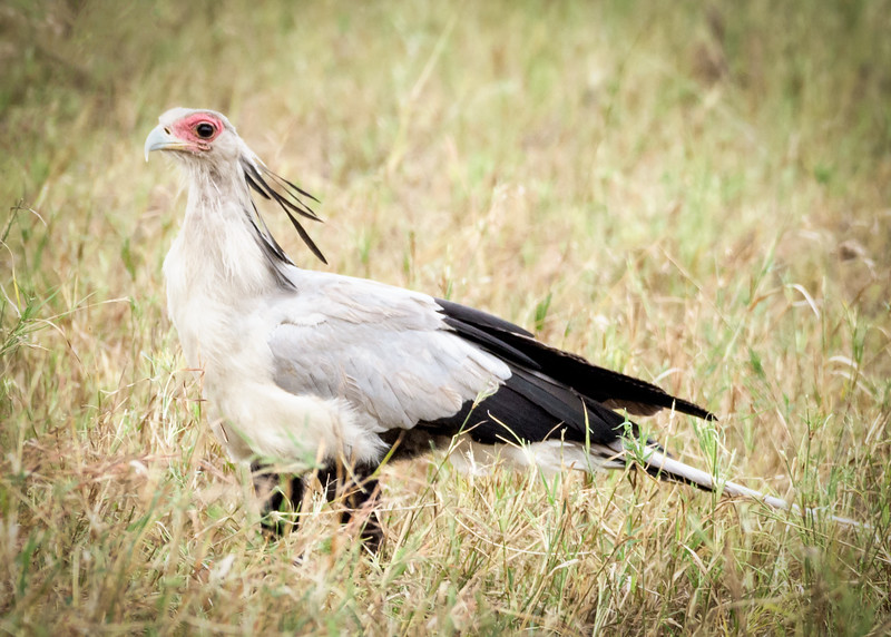 Secretarybird, Serengeti