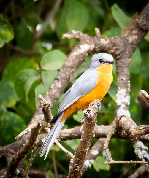 Silverbird ( Flycatcher), Serengeti