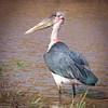 Marabou Stork, Serengeti