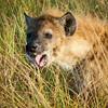 Hyena, Serengeti