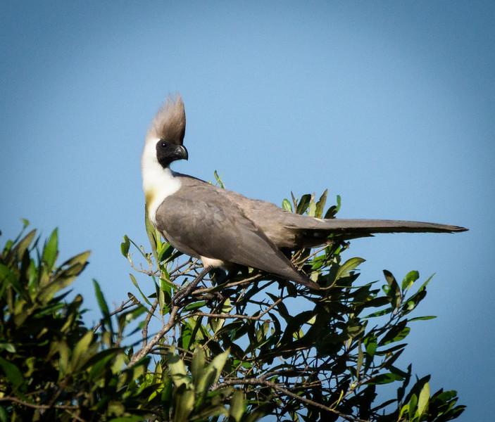Go -away- bird,Serengeti