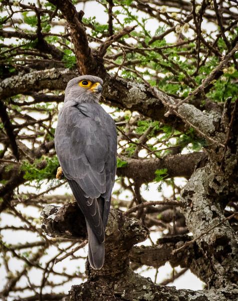 Grey Kestrel,  Serengeti