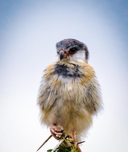 Pygmy Falcon,  Serengeti
