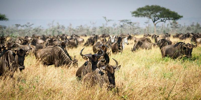 Migration #2,  Serengeti
