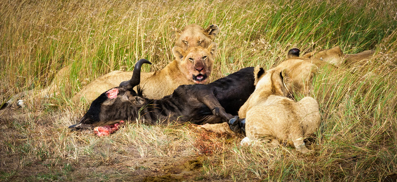 Lions with kill, Masai Mara