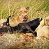 Lions with kill, Masai Mara