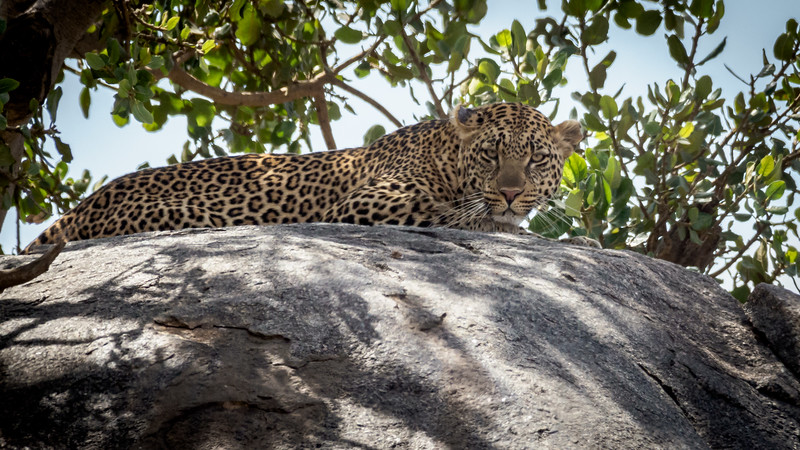 Leopard on rock, Serengeti