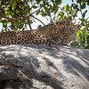 Leopard on rock, Serengeti