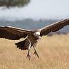 Griffon Vulture, Serengeti