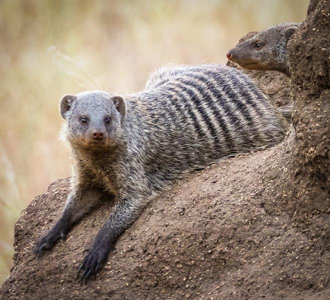 Banded Mongoose, Serengeti
