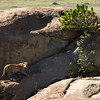 Leopard Landscape, Serengeti