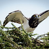 Black-chested Snake Eagle, Serengeti