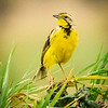 Yellow-throated Longclaw, Serengeti
