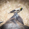 Wattled Starling, Serengeti