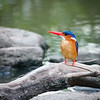 Malachite Kingfisher, Masai Mara