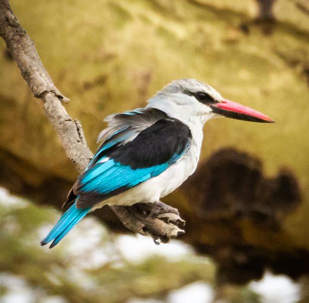 Woodland Kingfisher, Serengeti