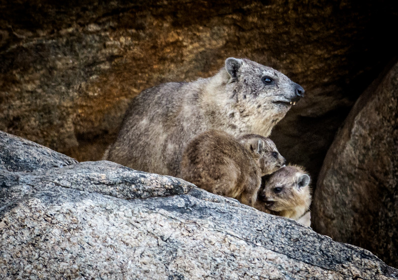 yellow-spotted Rock Hyrax, Serengeti