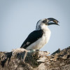 Black-billed Hornbill, Serengeti
