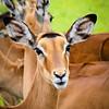 Impala farewell, Masai Mara