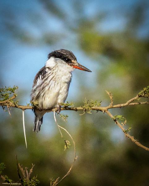 Striped Kingfisher, Serengeti