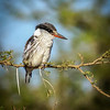 Striped Kingfisher, Serengeti