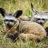 Bat-eared Fox, Masai Mara