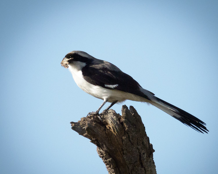 Grey-backed Fiscal( Shrike) with Moth, Serengeti
