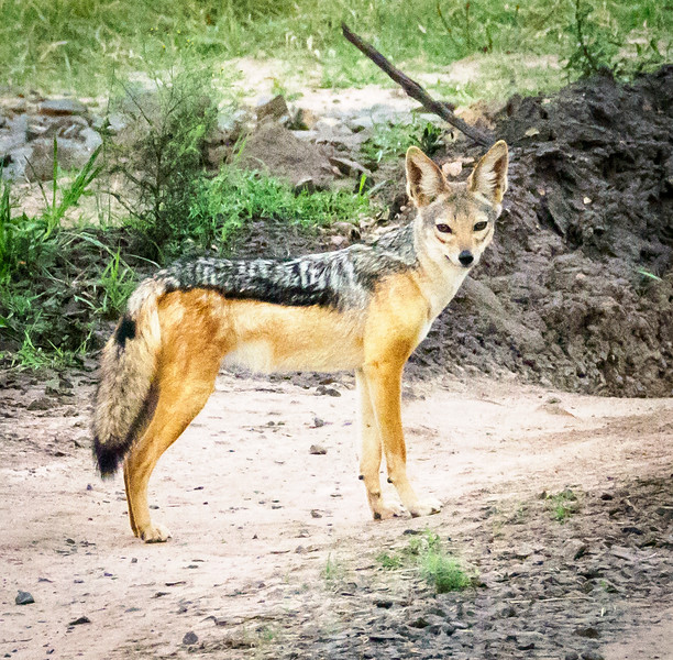 Silver backed Jackal, Masai Mara