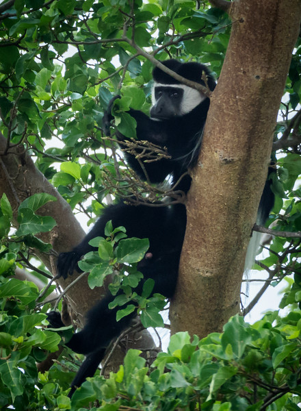 Colobus Monkey, Serengeti
