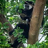 Colobus Monkey, Serengeti
