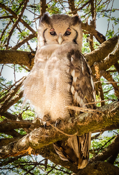 Verreaux's Eagle Owl, Serengeti