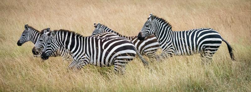 Zebras on the move, Masai Mara