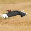 Southern Ground-hornbill in flight, Masai Mara