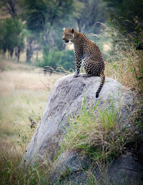Contemplative Leopard,Serengeti