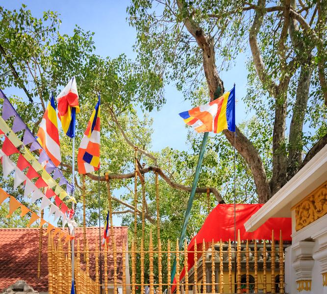 Remaining Limb of Sacred Bodhi