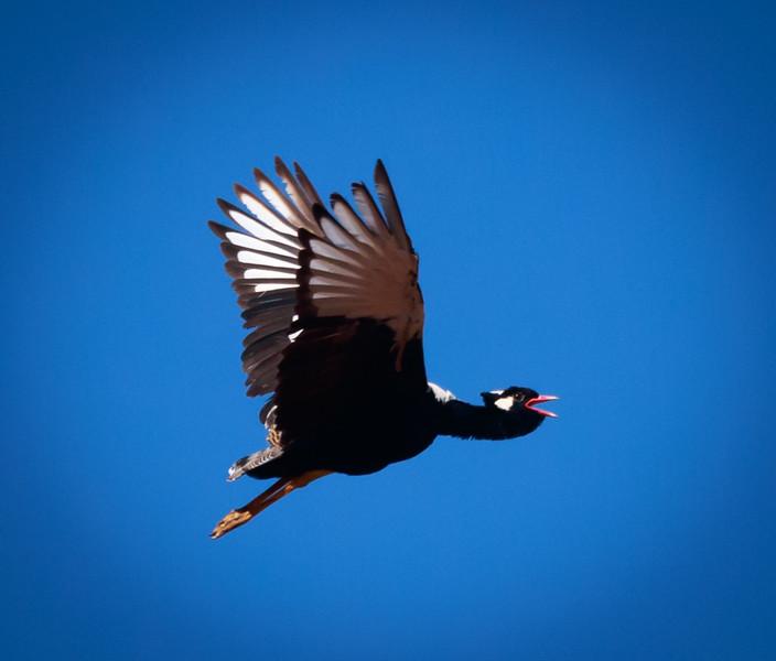 Korhaan in flight