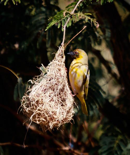 Weaver on nest