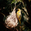 Weaver on nest