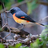 Minivet, Tea Trails