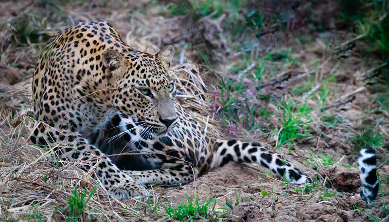 Leopard in brush, Yala