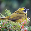 Yellow-eared Bulbul,Horton Plains